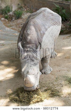 Rhino Eats Hay