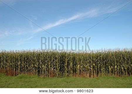 Outside Of A Corn Maze
