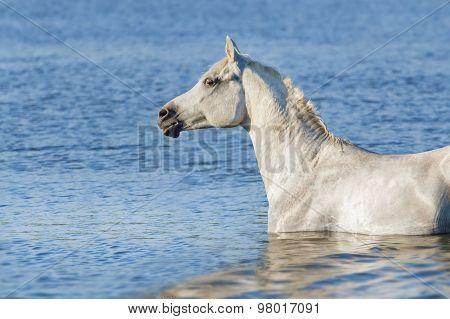 White horse in river