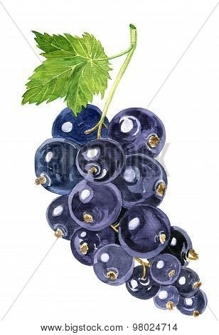watercolor drawing blackcurrant