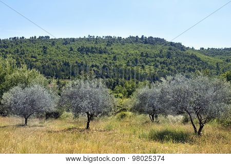 Meadow With Olive Trees In Provence, South Of France, Luberon Region