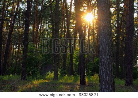 pine forest with sunlight and shadows at sunset