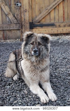 Caucasian shepherd guarding the yard