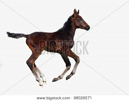 A dark bay foal galloping