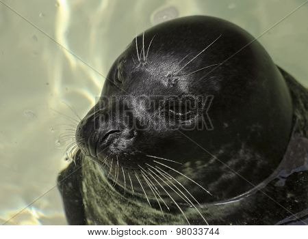 A Portrait Of A Harbor, Or Common, Seal