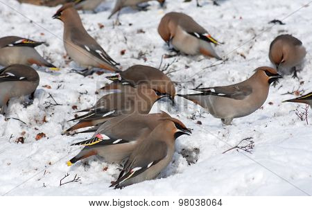 Flock of waxwings on the snow