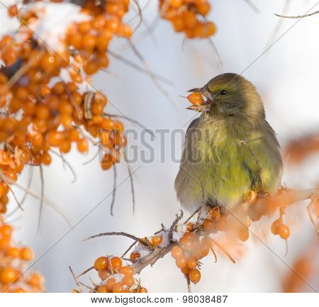 Greenfinch on the branch of Sea-buckthorn