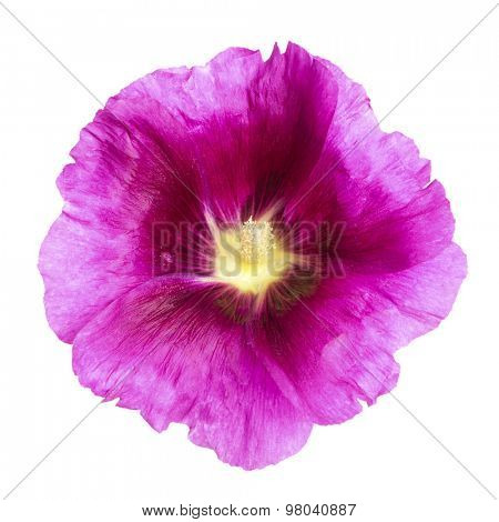 Vibrant purple hollyhock blossom isolated with clipping path on white background