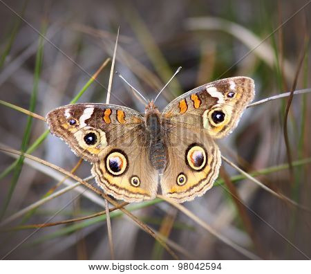 Buckeye Butterfly (Junomia Coenia) in the grass