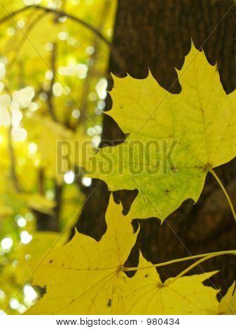 Autumn Sugar Maple- Acer Saccharum