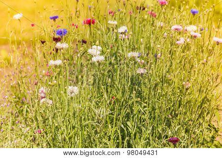 Cornflowers In The Garden