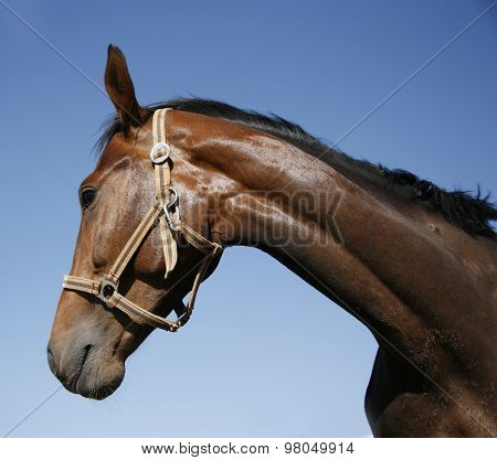 Head Shot Of A Thoroughbred Stallion Against Blue Sky Summertime