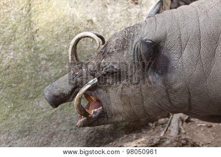 Sulawesi babirusa (Babyrousa celebensis). Wild life animal.