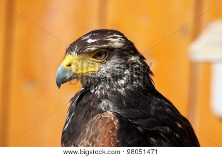 Harris's hawk (Parabuteo unicinctus). Wild life animal.