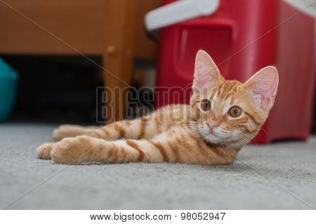 Tabby kitten instinctively looks camera left