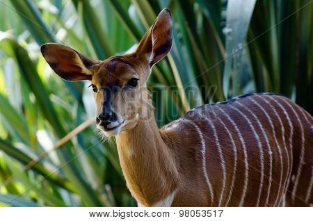 A brown female Nyala in it's natural environment.