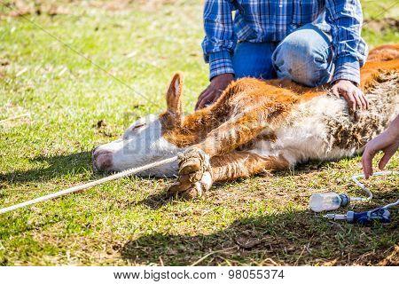 Branding Newly Born Calves On The Farm