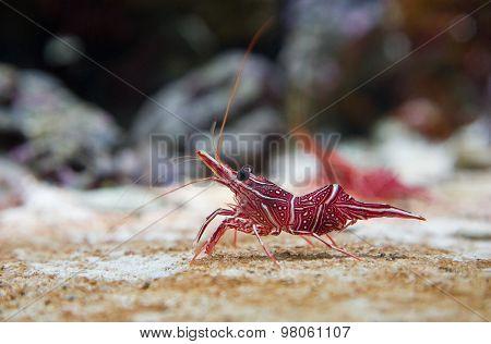 Camel Shrimp, Rhynchocinetes uritai