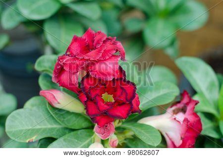 Desert Rose Flower, Adenium Obesum