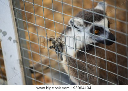 ring-tailed lemur (lemur catta) in cage.