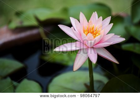 beautiful pink waterlily or lotus flower in pond.