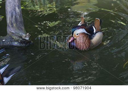 Beautiful Male Duck, Mandarin Duck, Aix Galericulata.  Bali Bird Park, Indonesia