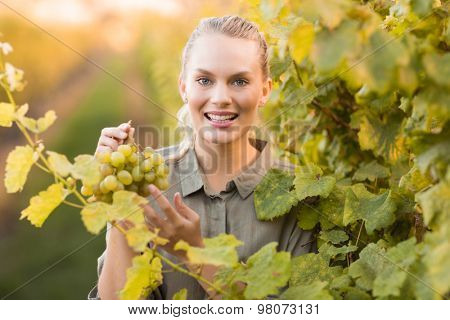 Young happy vintner picking grapes in the grape fields