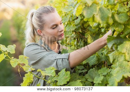 Young vintner picking grapes in the grape fields