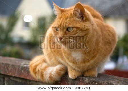 ginger cat on a fence