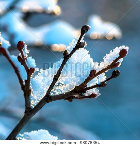 Covered Christmas Branch With Snow And Drops In Sunset Winter Forest, Closeup
