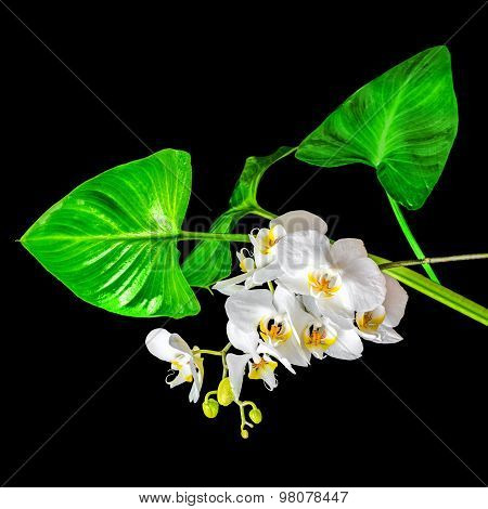 Blooming Beautiful White Orchid And Green Leaves Of Calla Isolated On Black Background, Closeup