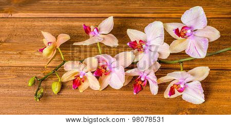 Top Down Of Beautiful Blooming Twig Orchid Flower, Phalaenopsis On Wooden Background, Panorama