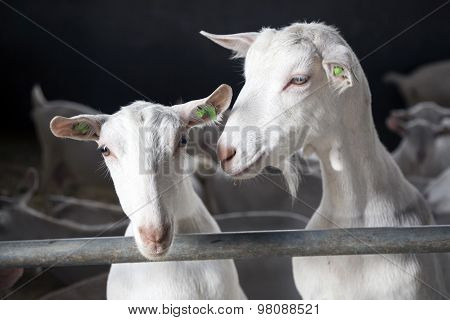 Two Goats Look Bars Of Stable