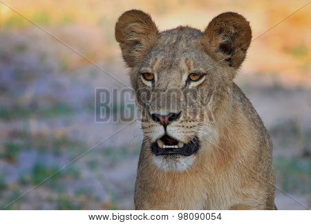 Isolated Lion profile in Hwange National Park