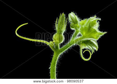 Growing Gourd Over Black Background
