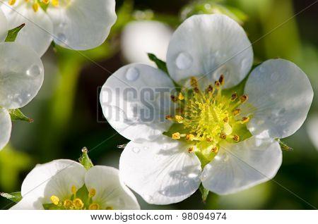 Strawberry flowers in dew drops