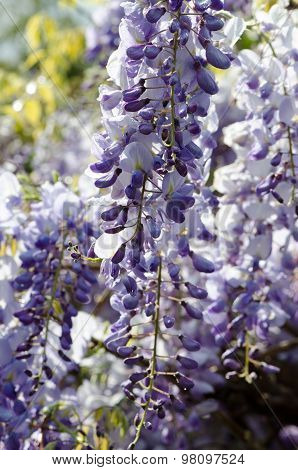 Wisteria, Spring Flowers In Dew Drops