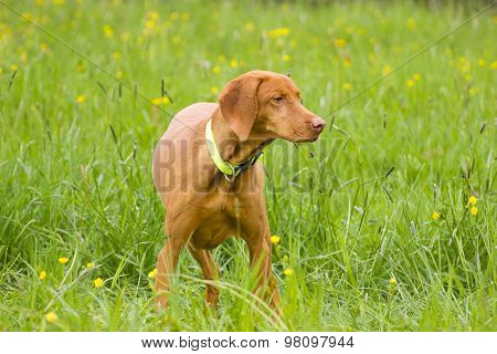 Haired Hungarian Vizsla
