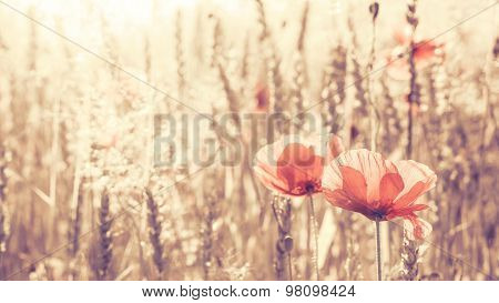 Retro Toned Poppy Flowers At Sunrise, Shallow Depth Of Field.