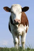 stock photo of milkmaid  - Montbeliarde cow front view in the French countryside - JPG