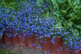 stock photo of lobelia  - Blue lobelia flowers grow in the flower bed with other flowers and plants - JPG