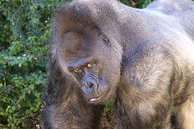 picture of male-domination  - dominant male great ape stares at intruder - JPG