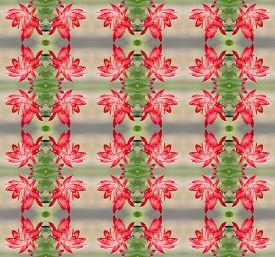 foto of schlumbergera  - Christmas Cactus flower  - JPG