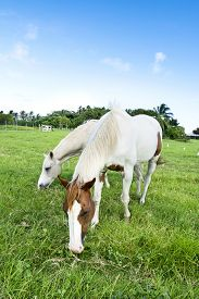 image of feeding horse  - Two horses feeding on grass in a large - JPG