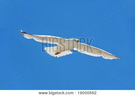 Seagull in a flight - freedom