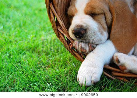 Cachorro de Beagle relajante