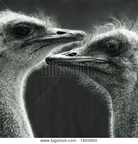Portrait Of Two Ostriches