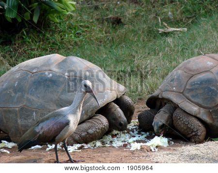Riesenschildkröte und Hadeda