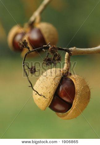Chestnut Harvest