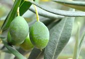 stock photo of olive branch  - Olives on the tree - JPG